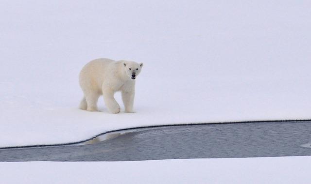 polar-bear-1574996_640 (1)